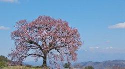 わに塚(王仁塚・鰐塚)の桜