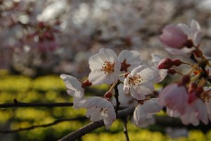 実相寺の水仙と桜