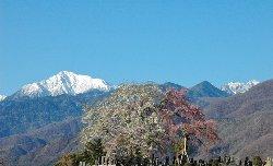 2011.04.24の田端の桜