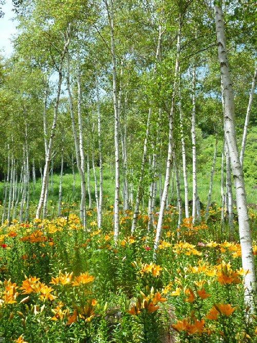 白樺林の百合