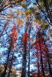 棒道 ツタウルシの紅葉