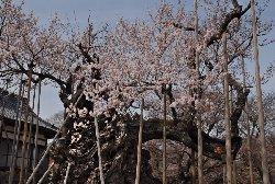 実相寺の神代桜