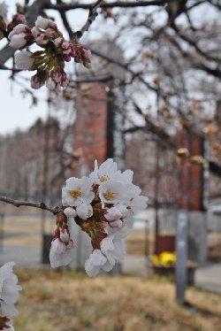 門の周辺の桜は3分咲き