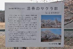 清春芸術村の桜について