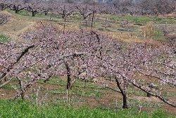 五分咲になっている桃畑も