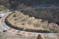 ループ橋のしだれ桜