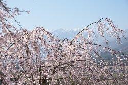 ループ橋のしだれ桜と南アルプス