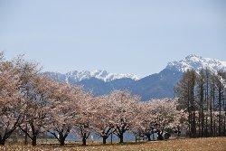 残雪の南アルプスと桜並木