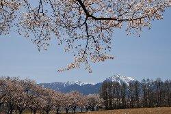 甲斐駒ヶ岳と桜並木