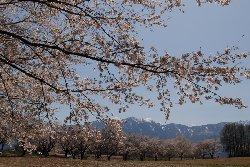 北杜市の桜