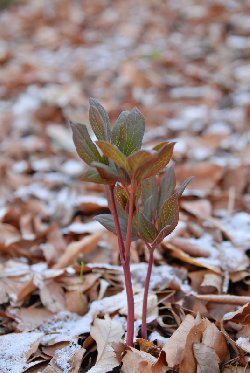 ヤマシャクヤクの芽