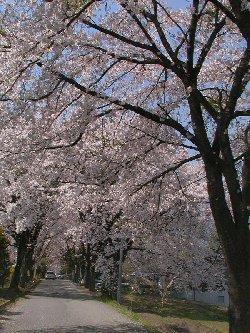 実原の桜並木
