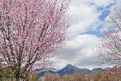 農業実践大学校の桜