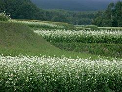 八ヶ岳山麓の蕎麦畑