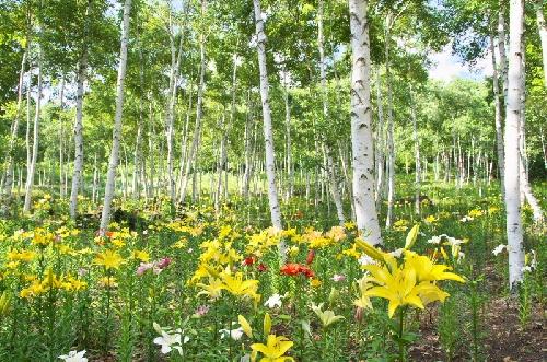 花の里 白樺エリアのユリ