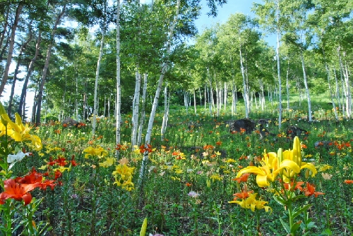 花の里 白樺エリアの百合