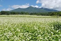 八ヶ岳の蕎麦畑