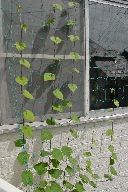 グリーンカーテンに植えた朝顔