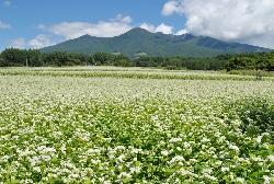 蕎麦畑と八ヶ岳