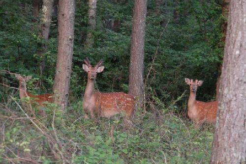 7月の八ヶ岳の鹿