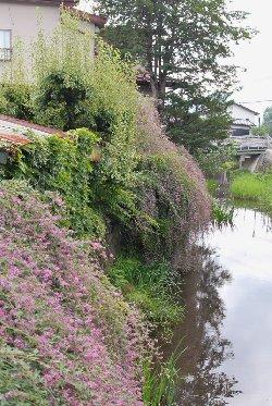 萩の花が溢れる川岸