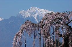 神田(しんでん)の大糸桜