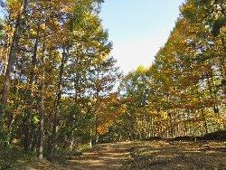 黄金色に輝く唐松の棒道