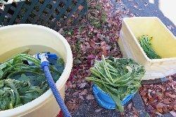 洗っては、水分を切って漬け込み樽へ