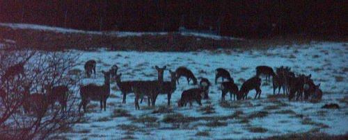 夜の鹿の群れ