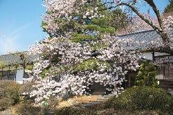 大正校舎と桜