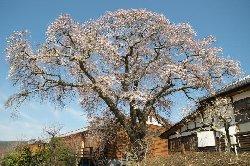 昭和校舎と桜