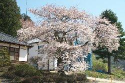 明治校舎と桜