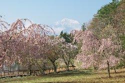 すずらん池のしだれ桜