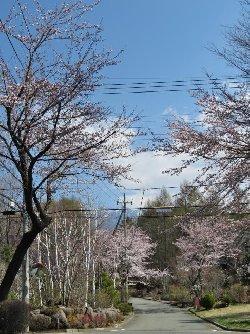 小淵沢町篠原の森の桜