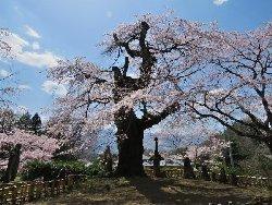 高森観音堂のエドヒガン桜