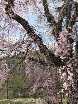 高森墓地のしだれ桜