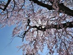 高森の枝垂れ桜