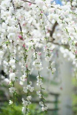源平咲き分け花桃