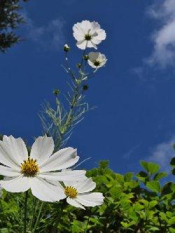 澄んだ空と白いコスモス