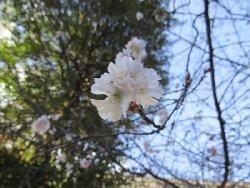 平野神社 十月桜