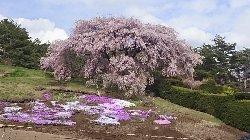 富士見町K邸の桜