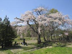井伏鱒二さんが愛したしだれ桜