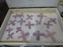 クレマチスの押し花
