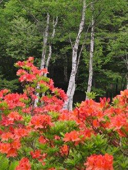 色鮮やかに咲くレンゲツツジ