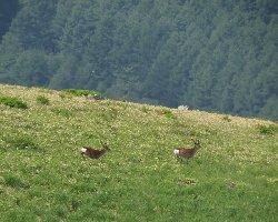 草原を走る鹿2頭