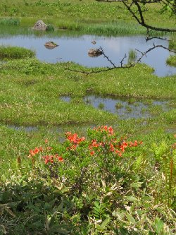 池塘とレンゲツツジ