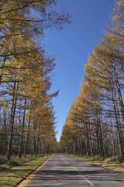 カラ松の黄葉