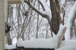 雪の中のアカゲラ