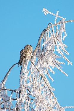 霧氷の中のフクロウ