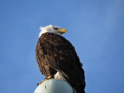 ハクトウワシ Bald eagle